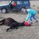 A férfi levágja a ló láncait. Videóra vették, milyen bámulatosan köszöni ezt meg ez a pompás állat: