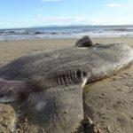 Páratlan tengeri lényre bukkantak egy észak-amerikai strandon: