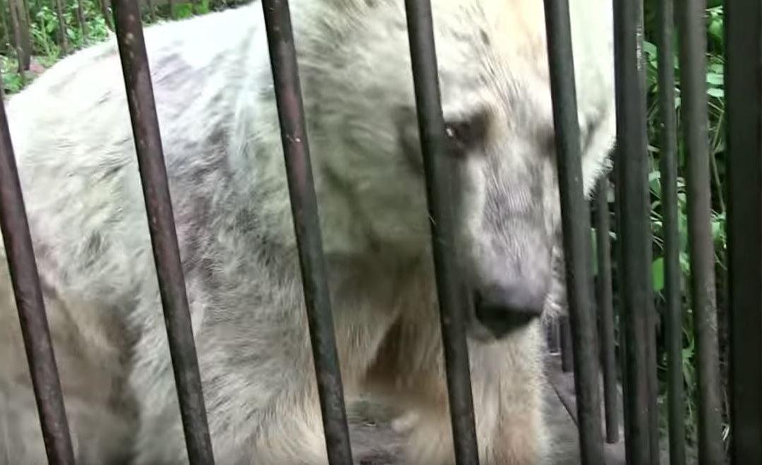 Egész életét egy szűk ketrecben élte le Fifi, a maci. 30 év után tapasztalhatta meg a szabadságot, videón a reakció: