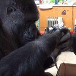 A gorillát két apró kis baráttal lepték meg születésnapjára: közel 14 millióan látták első találkozásukat