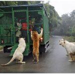 Ebben a különleges vadasparkban a látogatókat zárják ketrecekbe, úgy mehetnek végig az állatok között