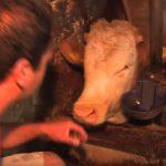 Bandit, a bika egész életét kikötve élte, zsebkendőnyi területen: mikor szabadon engedik, előtörnek belőle az érzelmek