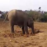Az elefántmama 11 órán keresztül ásta a gödröt: aztán jött a segítség, és kiderült, miért csinálta