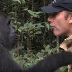 Gondozója azt hitte, a gorilla már elfelejtette: mindenki ámult, mi történt, mikor a majom 5 év után viszontlátta nevelőjét