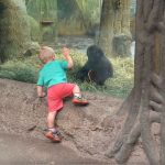 A kisfiú játszani kezd a gorillával, mikor rátapad az üvegre, akkor kezdődik az igazi móka