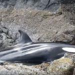 A szikla közé szorult, óriási kardszárnyú delfin keservesen sírt: emberek egy csoportja odamerészkedett hozzá