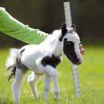 A világ legkisebb lova igazi cukiságbomba, különösen ezen a kisfilmen
