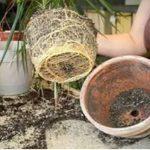 Ezeket a szabályokat sokan nem tudják szobanövények átültetésekor: ha betartjuk őket, gyönyörűek lesznek a növények