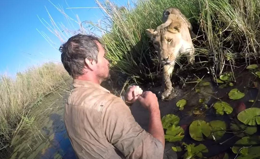 Két oroszlánkölyköt is megmentett ez a férfi, egyikükkel hét év után találkozik újra: megörökítették a reakciókat