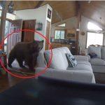 A tulajdonosok távollétében betörte az ajtót és besétált a házba a grizzlymedve: a biztonsági kamera mindent rögzített