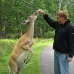 Ez a kedves őzike teljesen úgy viselkedik, mint egy kutya: nézd, mit csinál a jutalomfalatért